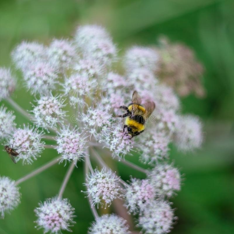 A furry striped bumblebee sits on a poisonous white flower of a water Hemlock on a green background. Textured wings royalty free stock images