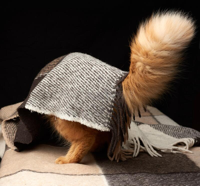 Free Furry Tail Of A Red Adult Cat Sticks Out From Under A Woolen Blanket Royalty Free Stock Photography - 178478187