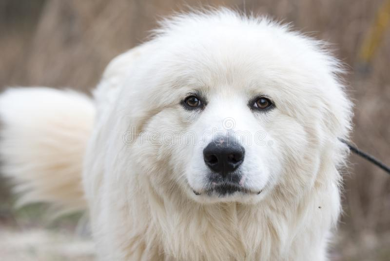 Furry white Great Pyrenees farm dog wagging tail royalty free stock photo