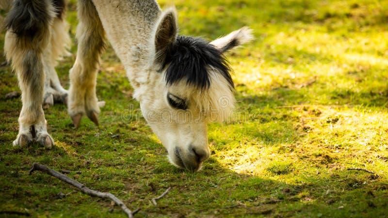 Furry White Lama no zoológico Áustria Styria Herberstein, destino turístico no outono fotos de stock royalty free