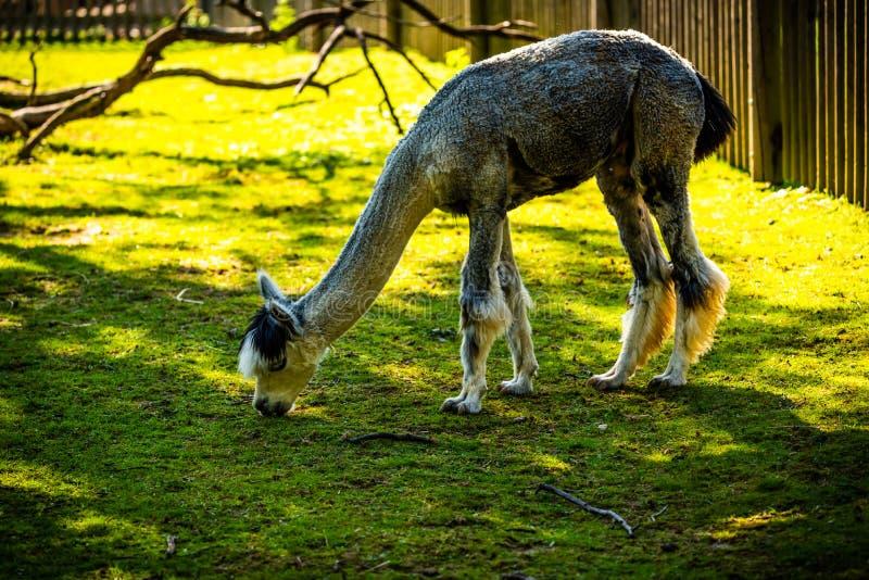 Furry White Lama no zoológico Áustria Styria Herberstein, destino turístico no outono foto de stock royalty free