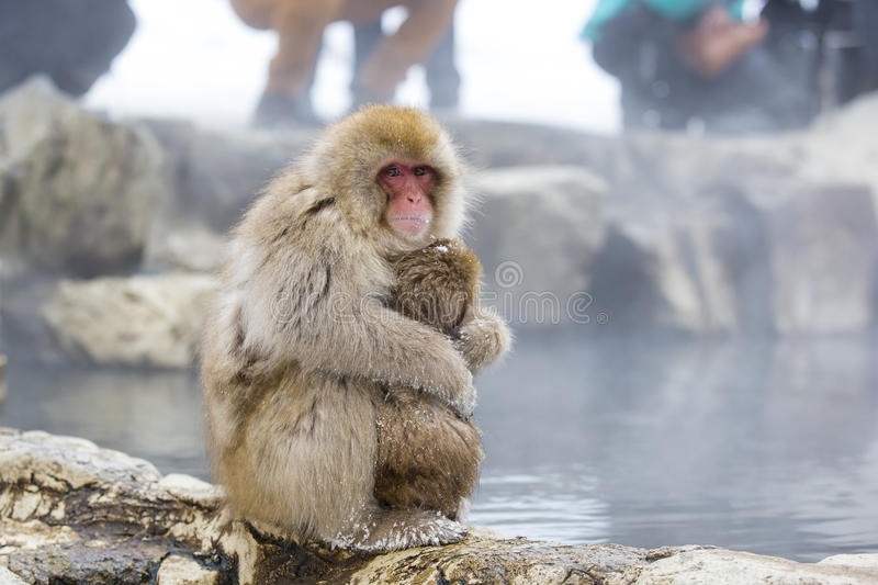 Furry Wild Snow Monkey Squeezing Baby. A brown, furry, red-faced, wild snow monkey mother turns her back to the onlookers in the background, and instead focuses royalty free stock image