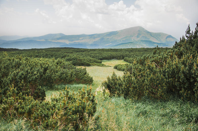 Furtrees nas montanhas de Karpathian fotos de stock royalty free