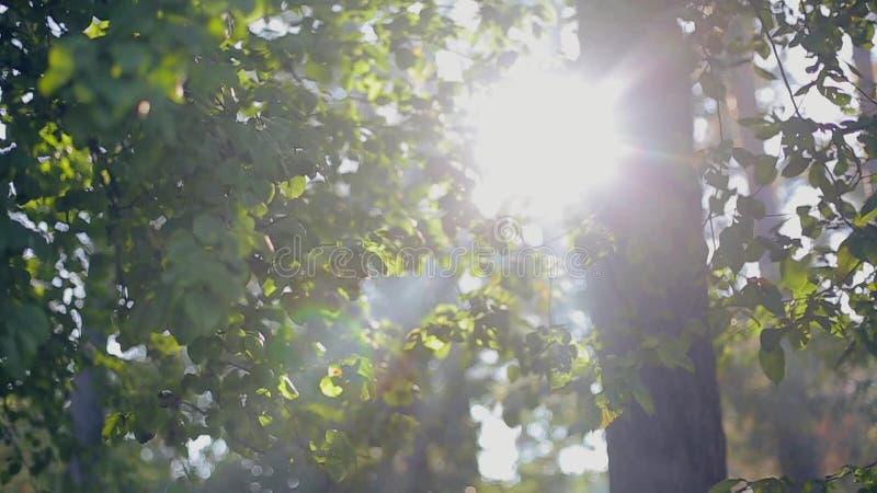Fusée de lentille par des arbres au coucher du soleil clips vidéos