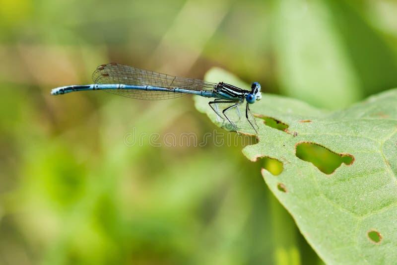 Fusca de Damsefly Sympecma, libélula en la planta verde visión macra, profundidad del campo baja, foco selectivo imagenes de archivo