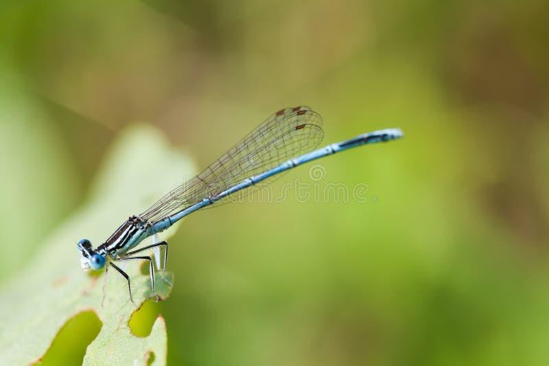 Fusca de Damsefly Sympecma, libélula en la planta verde visión macra, profundidad del campo baja, foco selectivo imágenes de archivo libres de regalías
