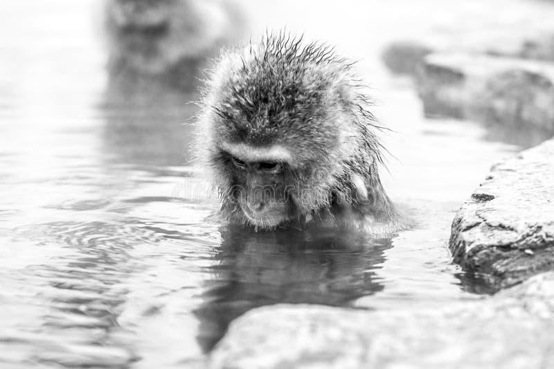 Fuscata do Macaca do macaco da neve do parque do macaco de Jigokudani em Jap?o, Nagano Macaque japon?s bonito que senta-se em um  fotos de stock