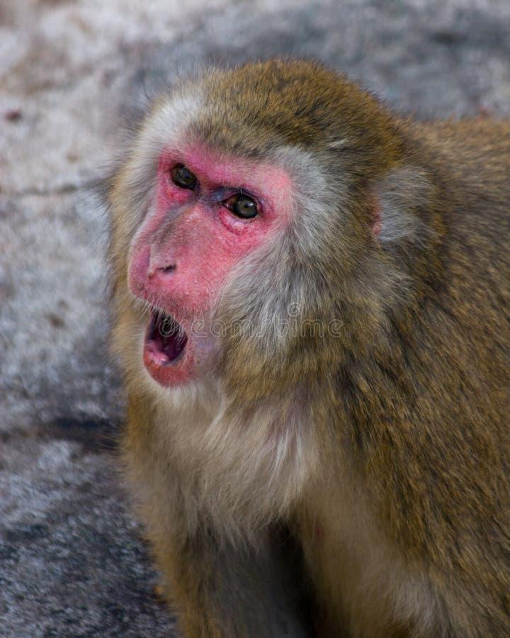 fuscata japoński macaca makak zdjęcie royalty free