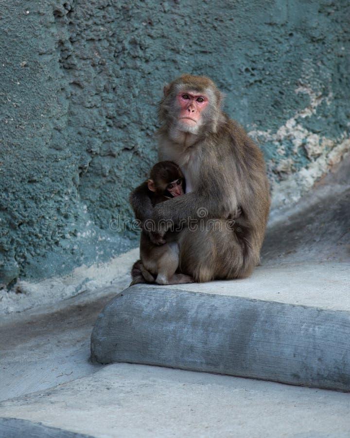fuscata japoński macaca makak zdjęcia royalty free