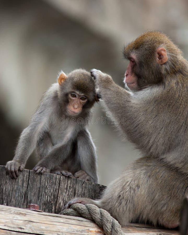 fuscata japoński macaca makak obrazy royalty free
