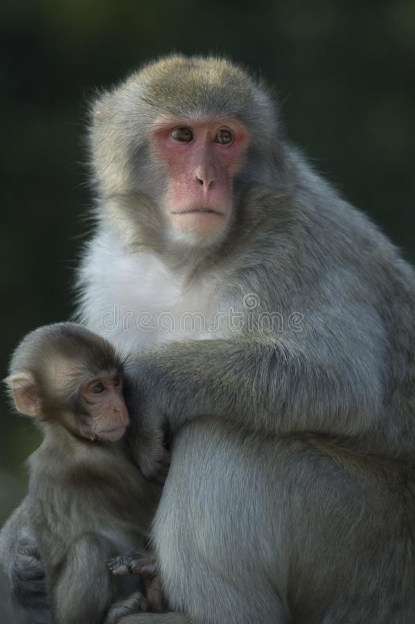 fuscata japoński macaca makak obrazy stock