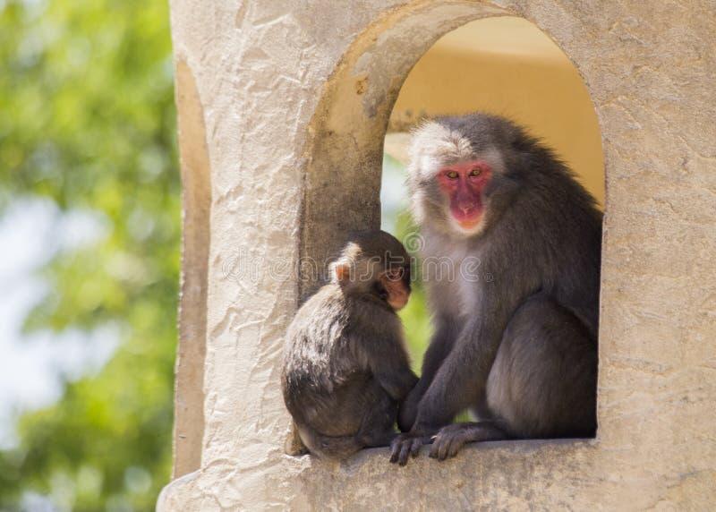 Fuscata japonais de Macaca de Macaque photos stock