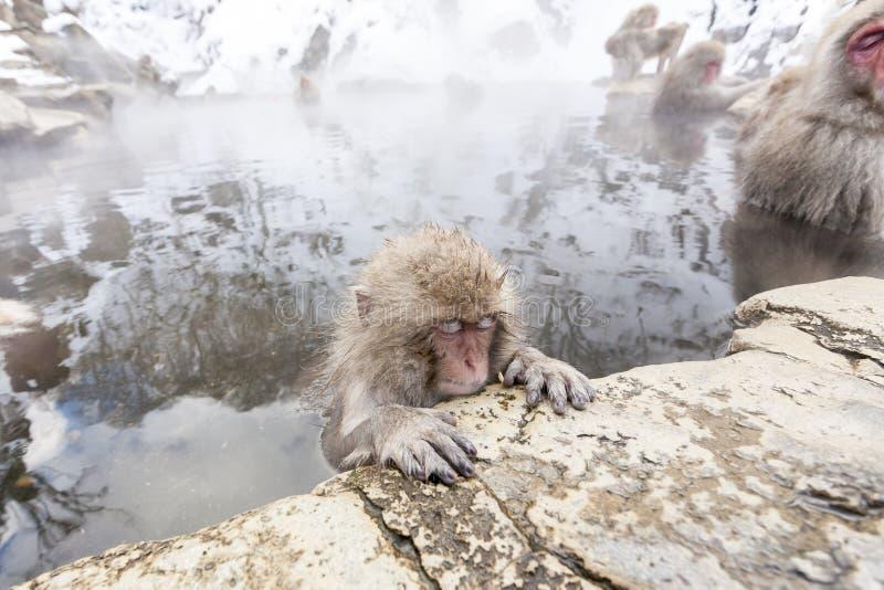 Fuscata van Macaca van de sneeuwaap van Jigokudani-Aappark de Prefectuur in van Japan, Nagano Leuke Japanse macaque stock afbeelding