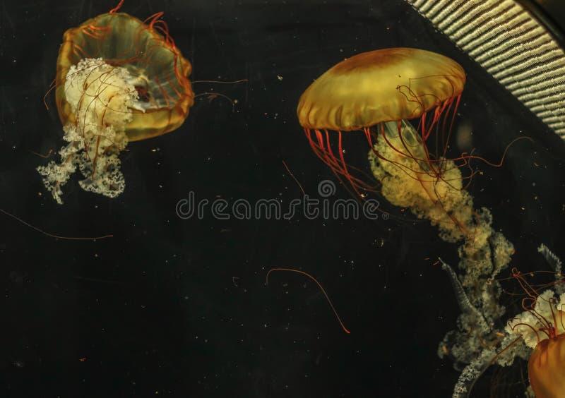 Fuscescens della chrysaora delle meduse nel primo piano dell'acquario immagine stock libera da diritti