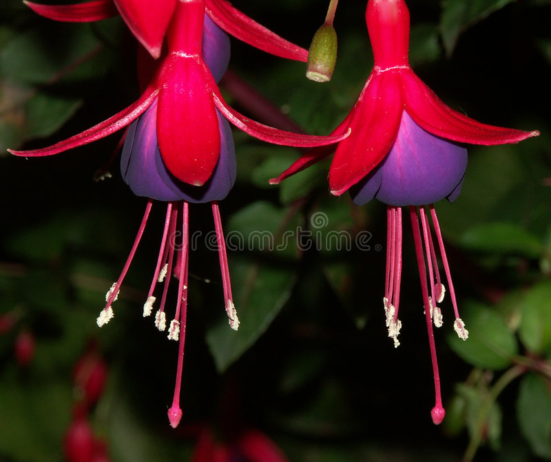 Fuschia Photo stock