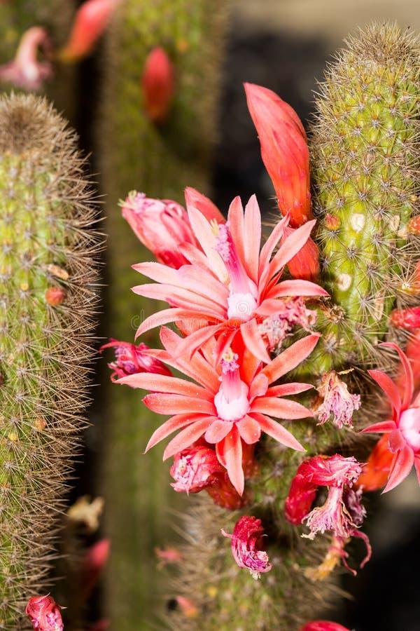 Fuschia blüht Blüte auf grünen Kaktusfässern lizenzfreie stockbilder