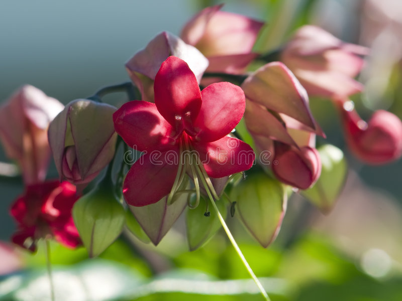 Fuschia blooms royalty free stock photo