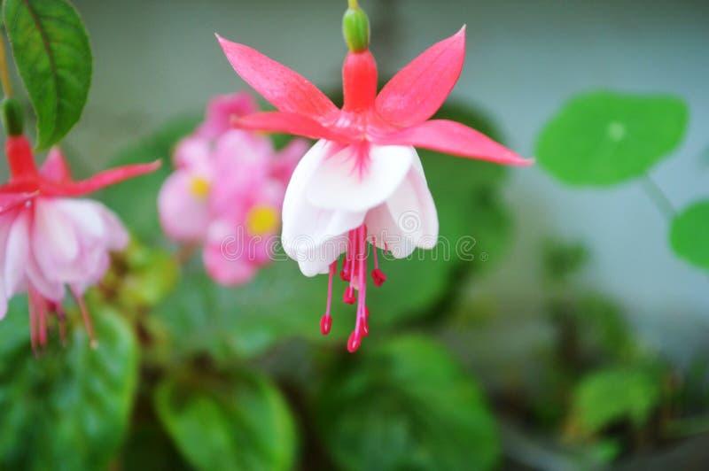 Fuschia Blumen lizenzfreies stockfoto