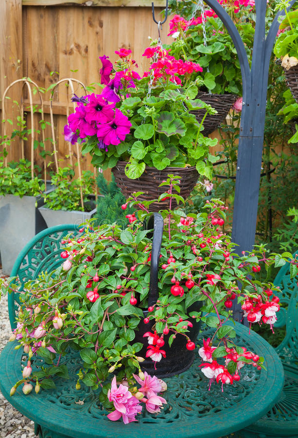 Fuschia container plant on garden table stock photography