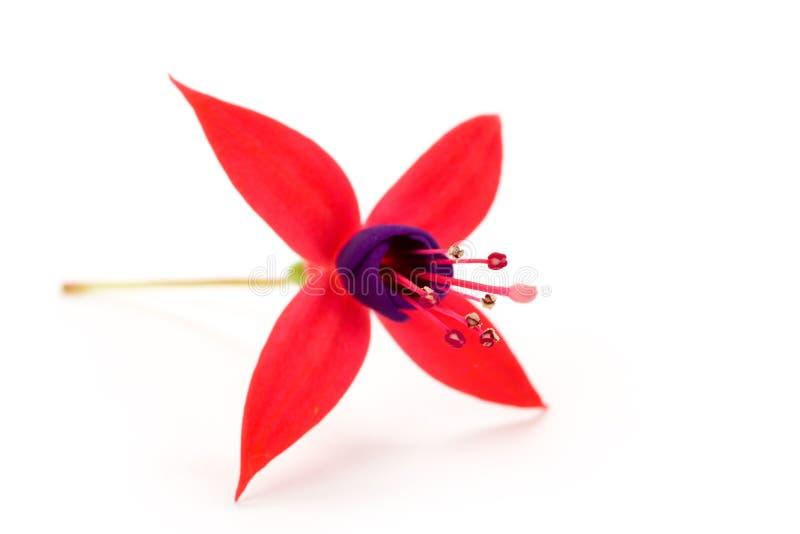 Download Fuschia Flower Royalty Free Stock Image - Image: 6079666