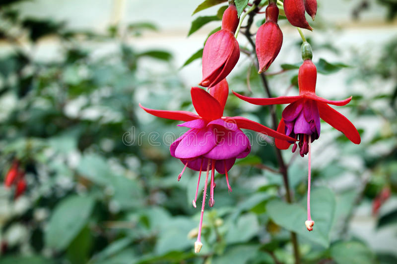 Fuschia Flowers stock photo