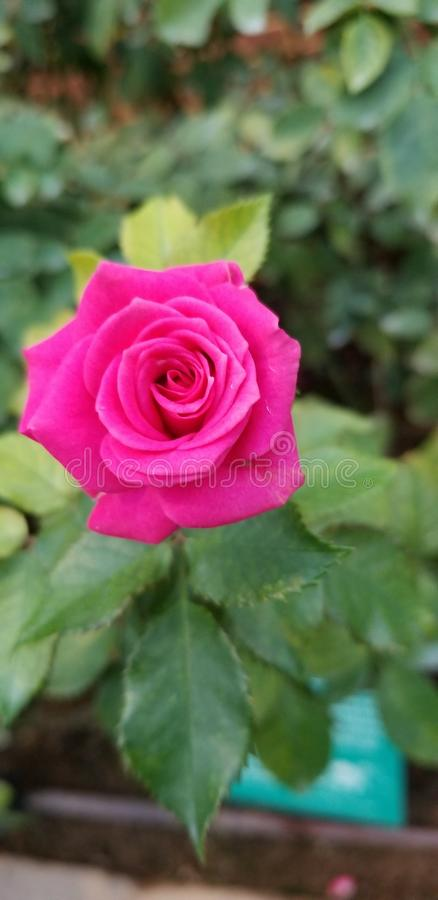 Fuschia Rose Bliss fotos de stock