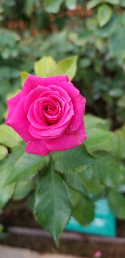 Fuschia Rose Bliss stock photos