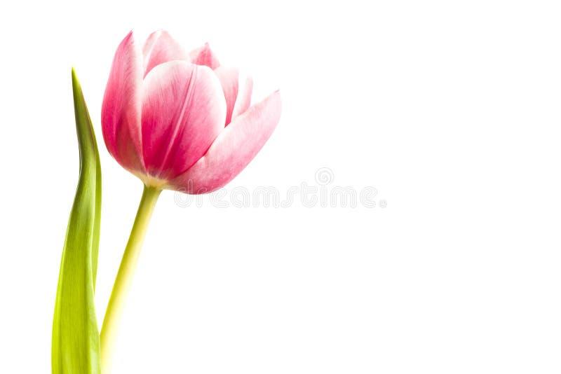 Fuschia Tulip foto de stock