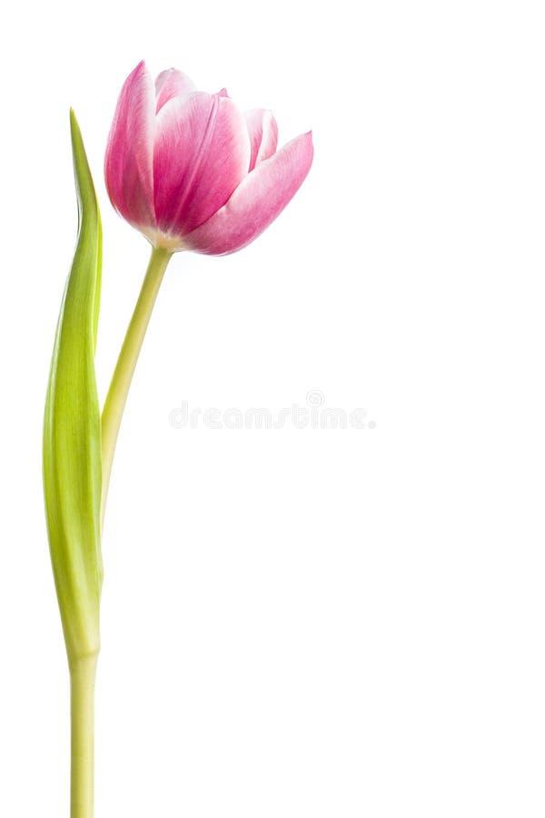 Fuschia Tulip fotos de stock royalty free