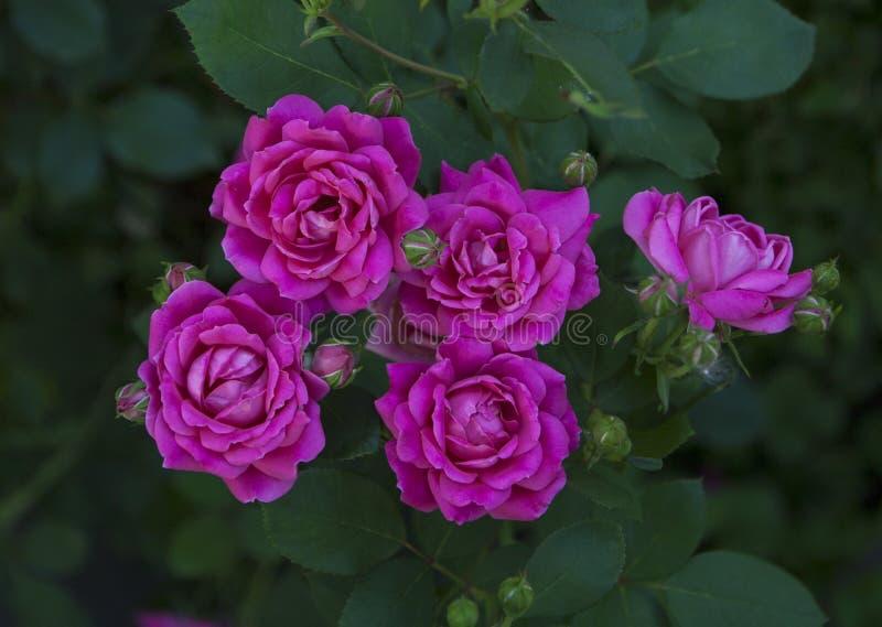 Fuscia-Rosen auf einem Busch lizenzfreie stockfotografie