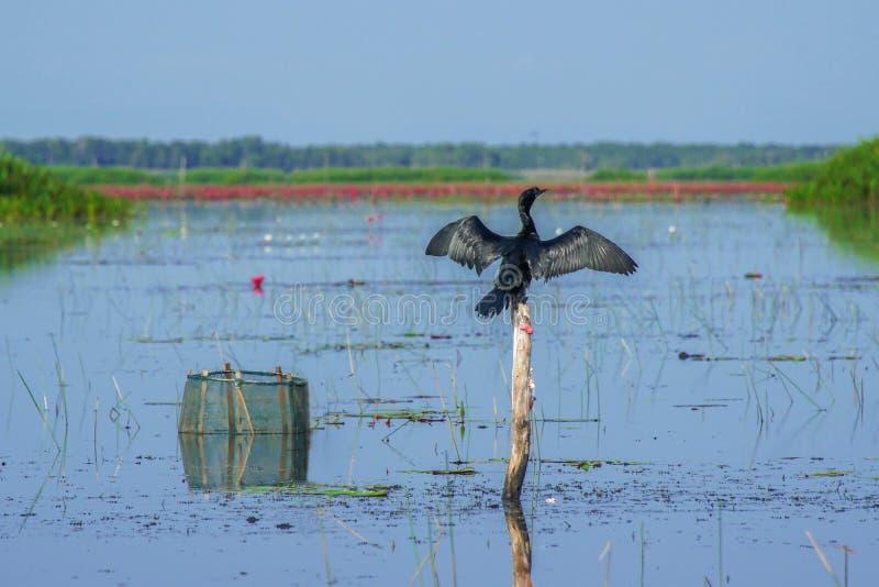 Fuscicollis indios del Phalacrocorax del pájaro del cormorán que secan las alas en naturaleza en Thale Noi Waterfowl Reserve Lake fotos de archivo