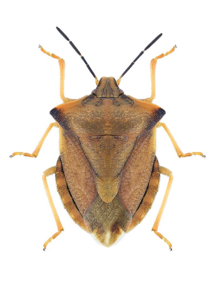 Fuscispinus de Carpocoris del insecto imágenes de archivo libres de regalías