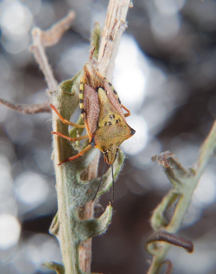 Fuscispinus verde de los carpocoris foto de archivo libre de regalías