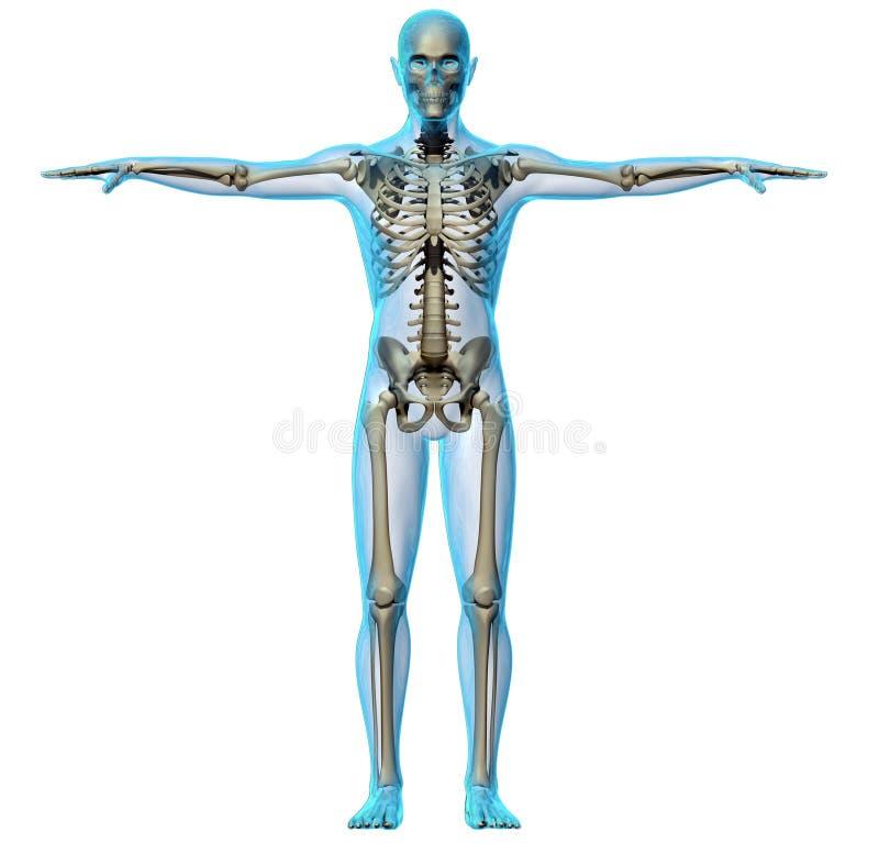 Fuselage humain et squelette illustration stock