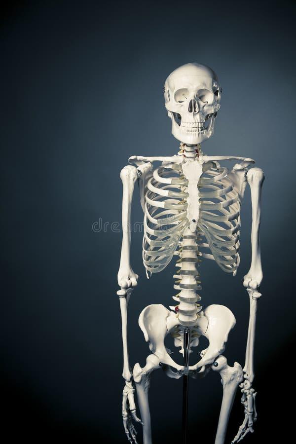 Fuselage squelettique humain sur un fond gris photo stock
