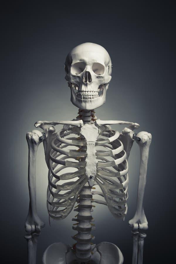Fuselage squelettique humain sur un fond gris image stock