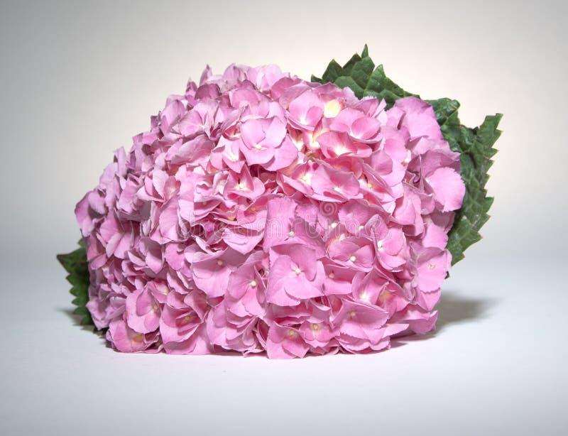 fushia八仙花属粉红色 免版税库存图片