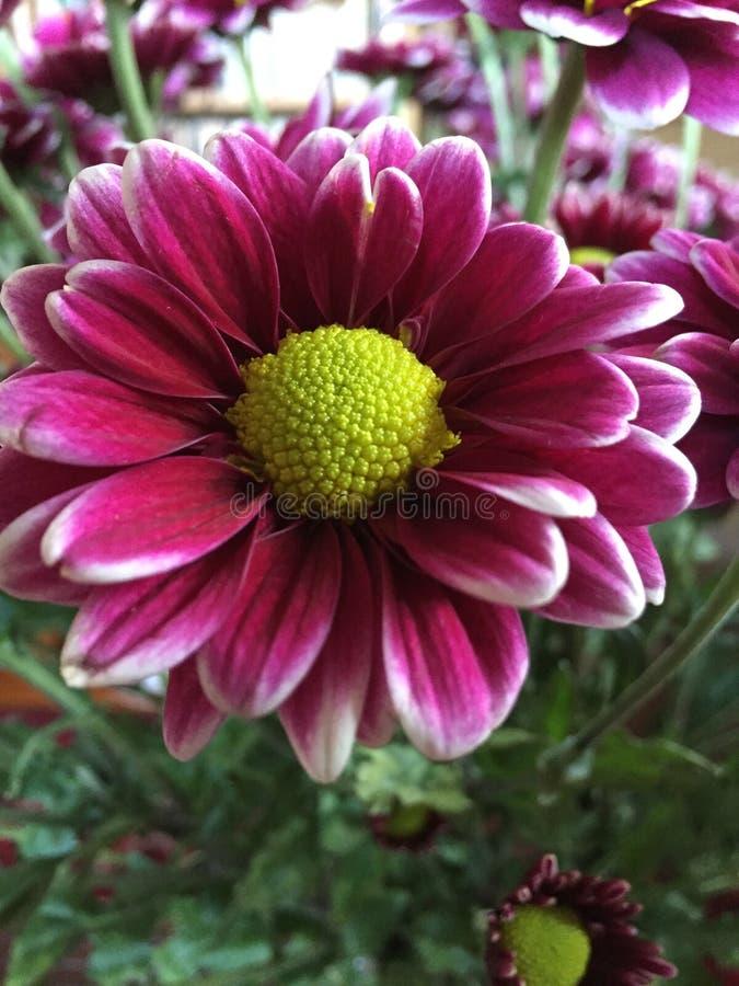 Fushia和绿色雏菊花 免版税库存照片