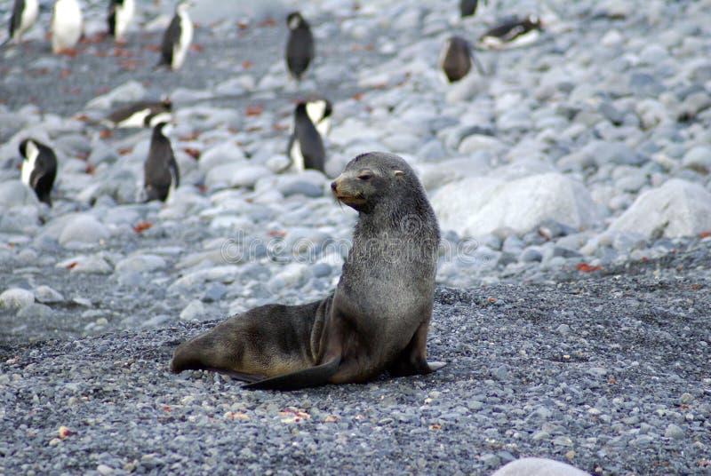 Futerkowa foka na skalistej plaży z pingwinami fotografia stock