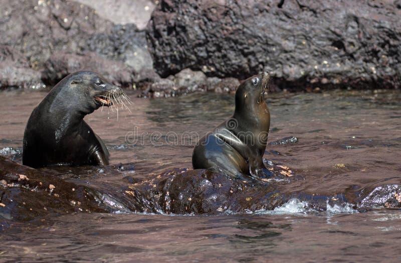 Futerkowe foki na Galapagos wyspach zdjęcia royalty free