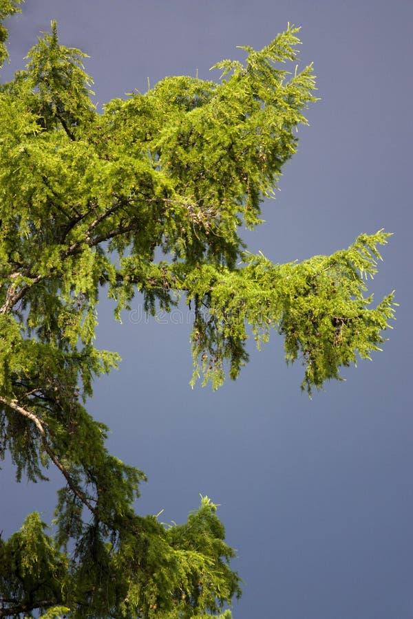 futerkowy burzy grzmotu drzewo zdjęcie stock