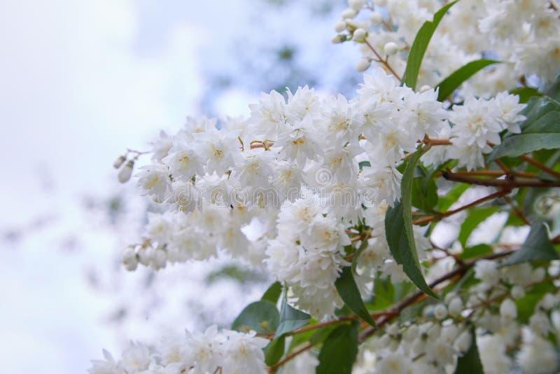 Fuzzy Deutzia Deutziascabradubblett blommade i blom royaltyfri bild