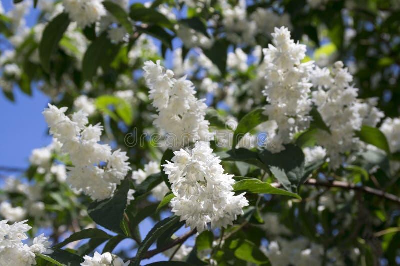 Fuzzy Deutzia, dobro do scabra do Deutzia floresceu na flor fotografia de stock royalty free