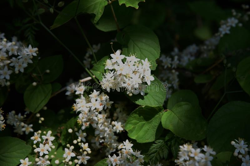 Fuzzy deutzia flowers stock photography