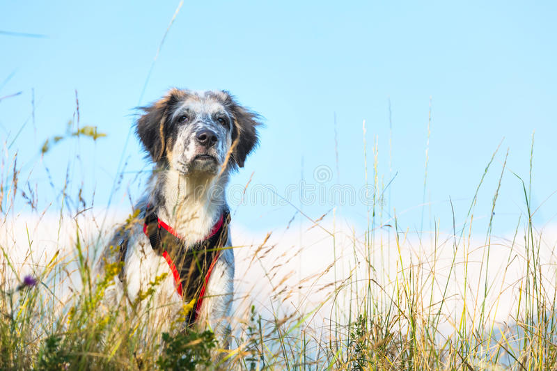 Fuzzy dog in green grass and high mountains and blue sky at background, freedom travel concept, copy space stock photos