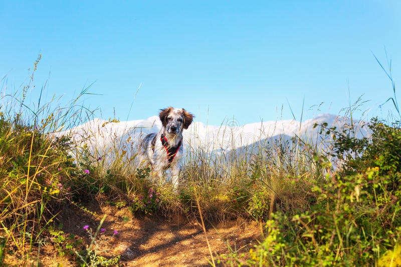 Fuzzy dog in green grass and high mountains and blue sky at background, freedom travel concept, copy space. White and black fuzzy dog in green grass and high royalty free stock images