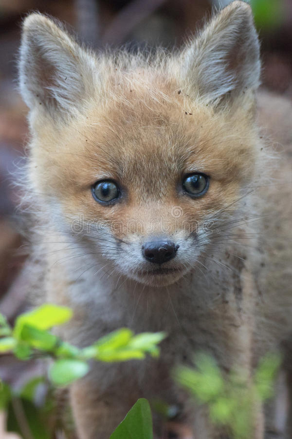 Fuzzy Faced Fox Pup royalty-vrije stock fotografie