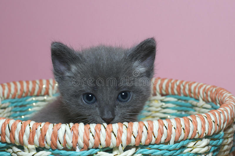 Fuzzy fluffy gray 4 week old tabby kitten peaking over the top of basket. Fuzzy fluffy gray 4 week old tabby kitten peaking over the top of a multi colored royalty free stock photography