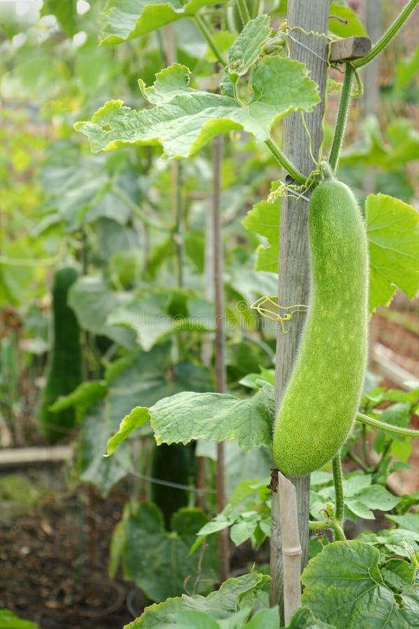 Fuzzy Melon i trädgården royaltyfria foton