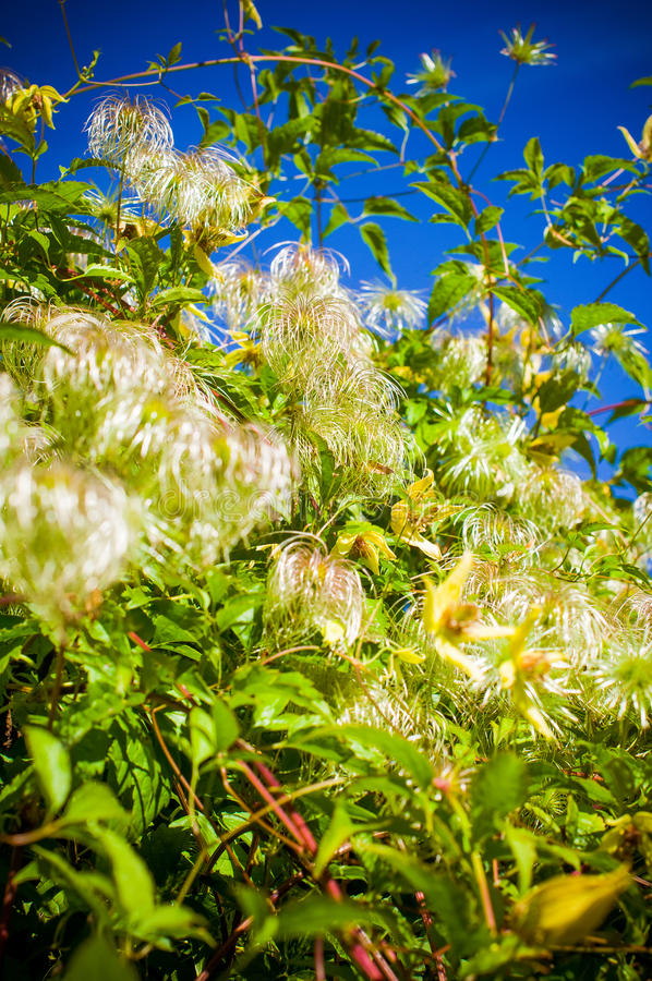 Fuzzy plant. On background of blue sky stock photography